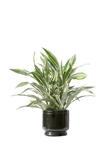 fice Plants