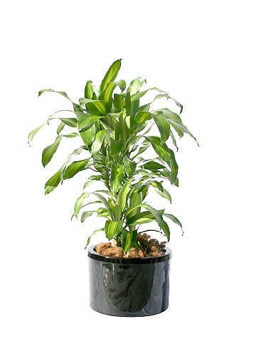 want to buy a plant for the office non gaming general non
